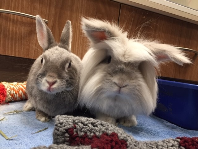 Tips for bonding two rabbits