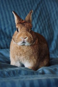 What is Rabbit Hemorrhagic Disease Virus (RHDV)